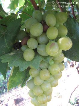 виноград мускат италия описание сорта фото
