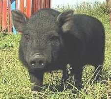 В зоопарке свинья откусила руку малышу