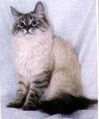 Невская маскарадная кошка сегодня