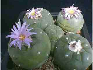 Лофофора вильямса=Lophophora williamsii