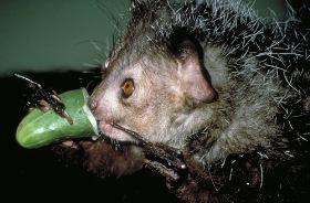 Мадагаскарская руконожка, ай-ай, айе-айе. Daubentoniidae Gray ...