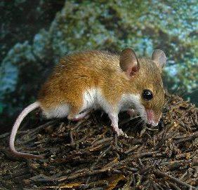 Карликовая мышь mus minutoides a smith 1834