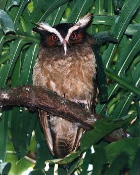 неясыть.Lophostrix cristata = Рогатая неясыть ...: www.zooeco.com/0-dom/0-dom-pt21-24.html