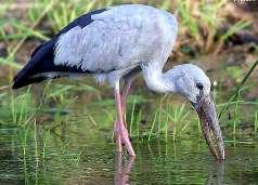Названия птиц: откуда и почему? Anastomus%20oscitans4