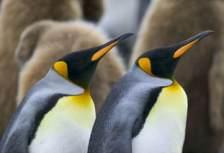 Пингвин Aptenodytes patagonica
