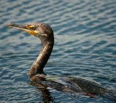 фото утка поганка
