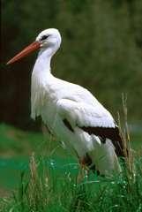 Голенастые - это отряд птиц, который включает в себя шесть семейств...