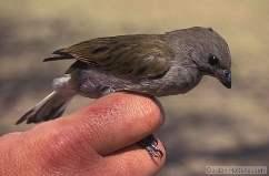 Названия птиц: откуда и почему? Indicator%20minor2