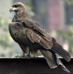 черный коршун коршуны отличается от других видов хищных птиц...