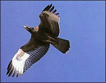 http://www.zooeco.com/Im2/Pernis%20ptilorhynchus1.jpg