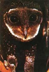 http://www.zooeco.com/Im2/Tyto%20tenebricosa.jpg