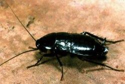 ...прусак и черный таракан, чтобы их уничтожить, надо применять буру с...