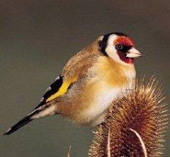 Щегол - Содержание в доме: биология, экология, размножение ...