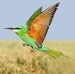 фото щурка зеленая