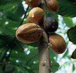 Какао шоколадное дерево