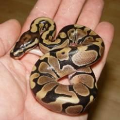 Наконец-то нашли змею, которая  гуляла по жилому дому два месяца