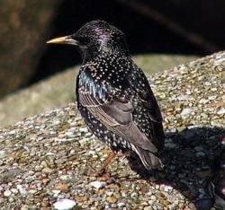 Названия птиц: откуда и почему? Sturnus_vulgaris