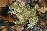Жаба зеленая Bufo viridis