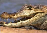 Кайман Caiman crocodilus