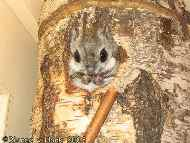 Вид pteromys volans летяга