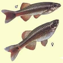 Кардинал tanichthys albonubes